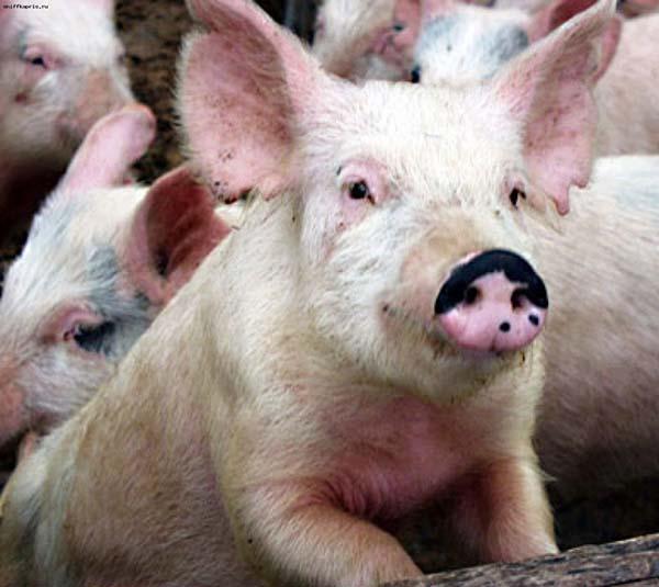 Количество спермодоз на свиноматку расчет