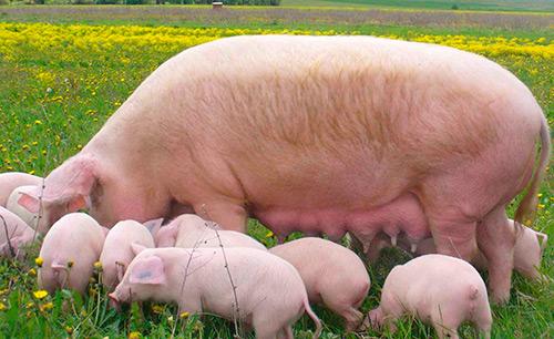 Интенсивное использование свиноматок