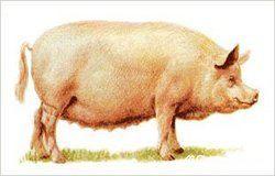 Кормление холостых и супоросных свиноматок
