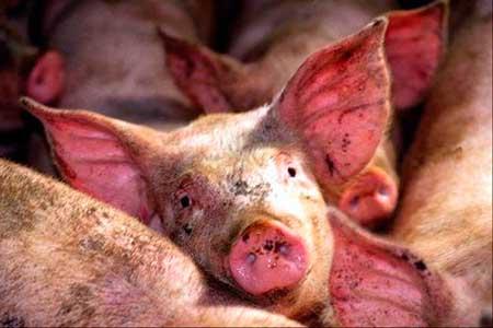 Infekcionnye-bolezni-svinej