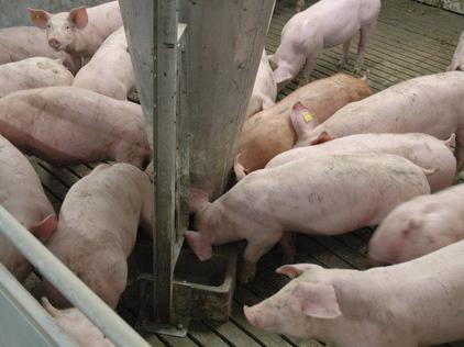 Kormlenie svinej na otkorme