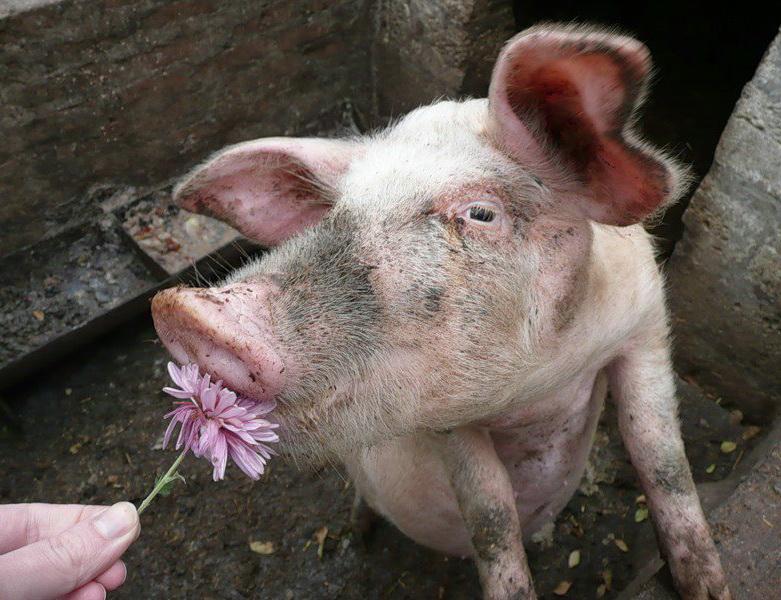 Распорядок дня на свиноферме
