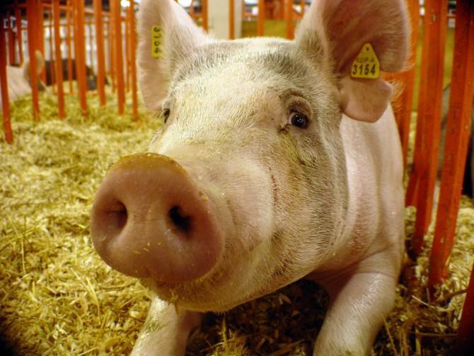 Содержание холостых свиноматок
