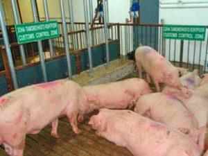 bolezni-svinej