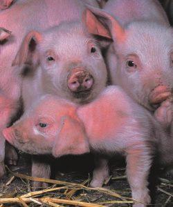 Биологические особенности свиней