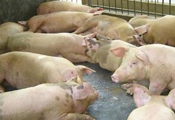 Причины и предупреждение прохолостов у свиноматок