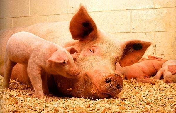 Сведения по анатомии и физиологии свиней